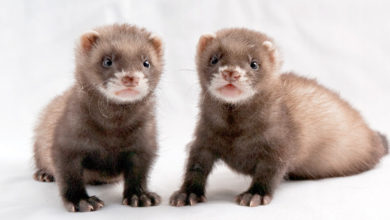 Photo of Can two female ferrets live together?