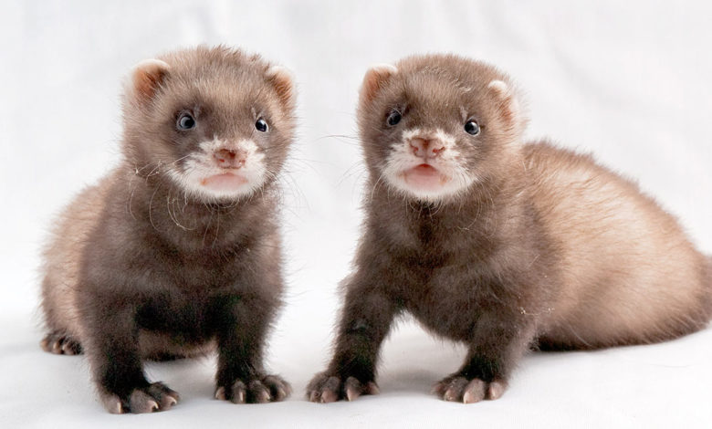 Can two female ferrets live together