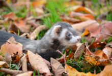 Photo of Can you get rabies from a ferret