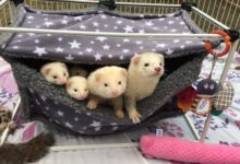 Photo of Do ferrets need bedding in their cage