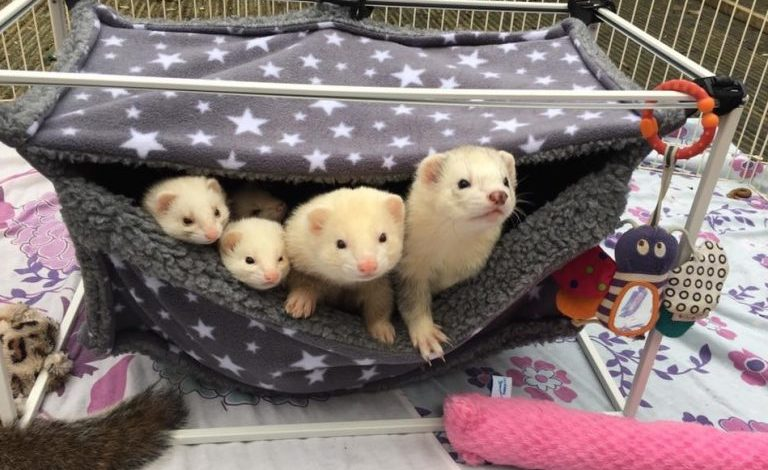 Do ferrets need bedding in their cage