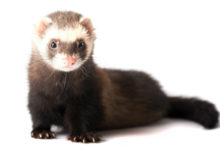 Photo of Do ferrets stink up your house