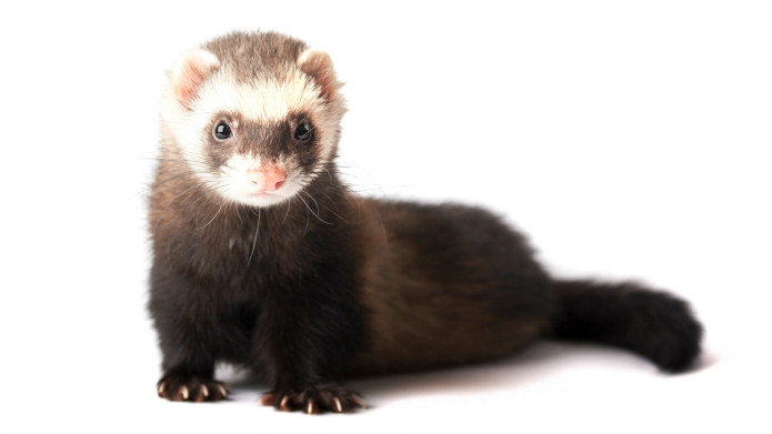 Do ferrets stink up your house