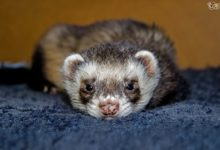 Photo of How can ferret tell if he is in pain
