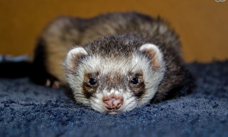 How can ferret tell if he is in pain