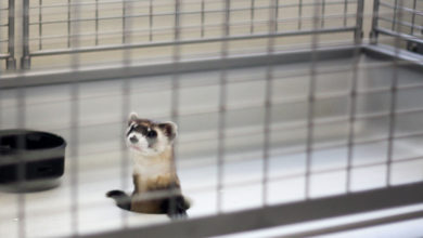 Photo of How long do ferrets live in captivity