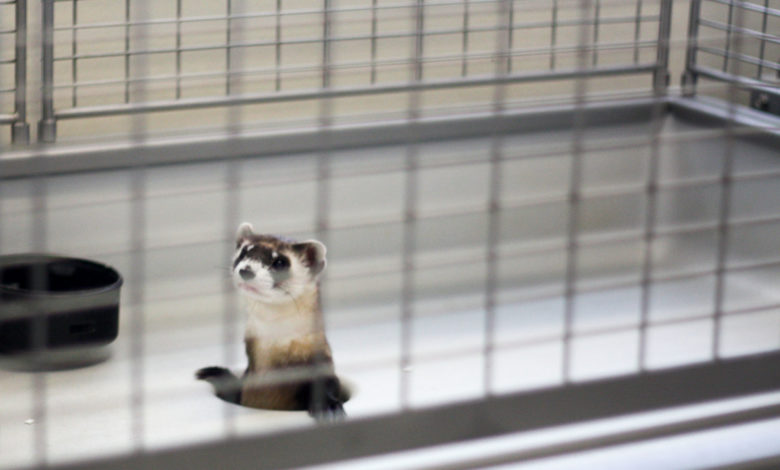 How long do ferrets live in captivity