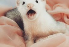 Photo of How to know if a ferret is happy