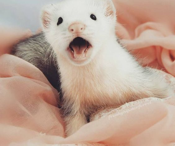 How to know if a ferret is happy