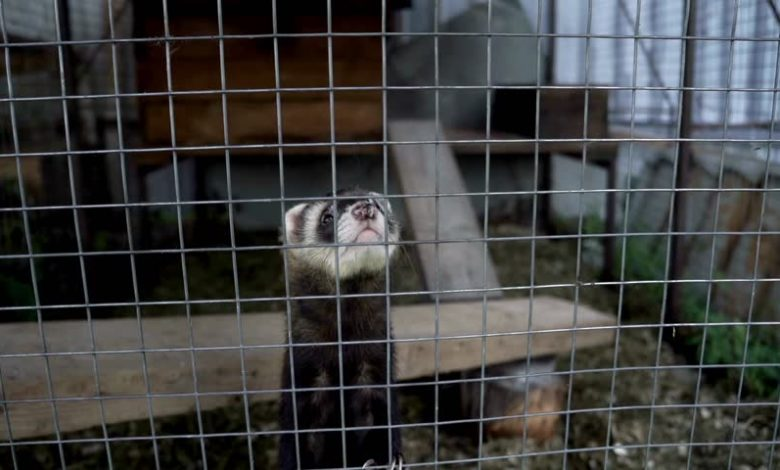 What do ferrets like in their cage