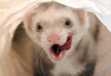 Photo of Where do ferrets originate from
