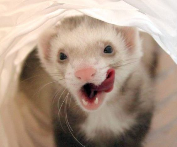 Where do ferrets originate from?