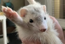 Photo of Why ferrets are so flexible