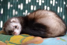 Photo of How does a ferret get distemper