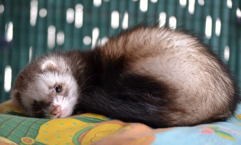 How does a ferret get distemper