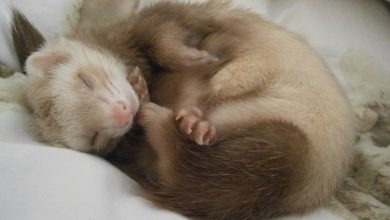 Photo of How to treat ferret adrenal disease