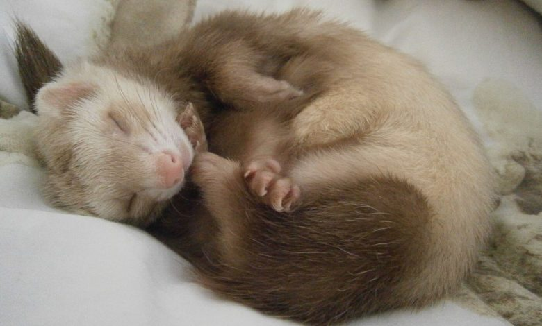 how to treat ferret adrenal disease