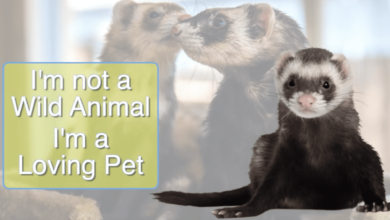 Photo of Are ferrets legal to own as pets in California
