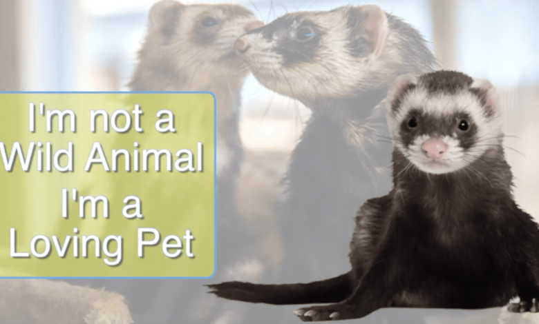 Are ferrets legal to own as pets in California?