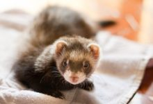 Photo of Can Ferrets Live with Hamsters?