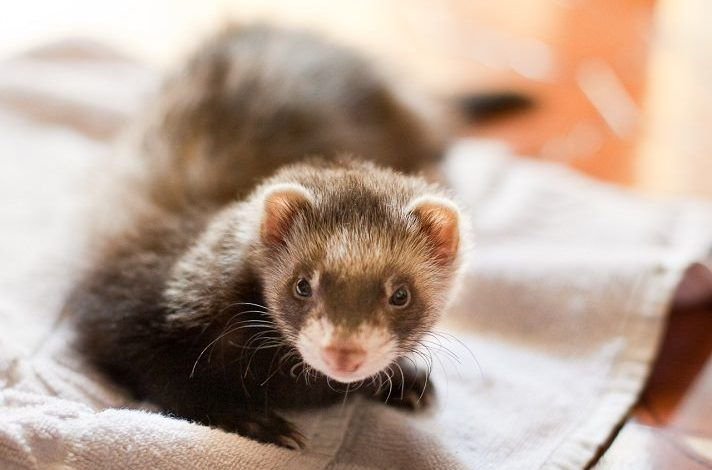Can Ferrets Live with Hamsters?