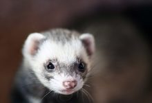 Photo of Can ferrets die from loneliness