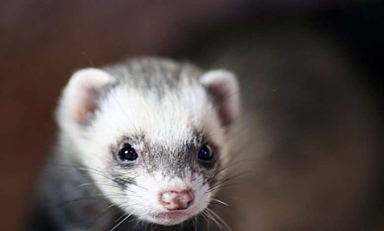 Can ferrets die from loneliness?