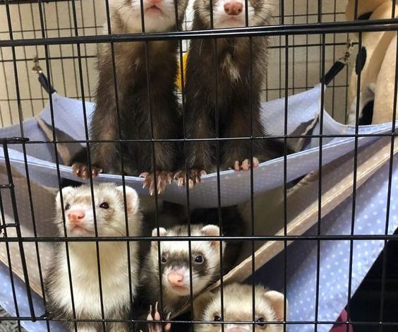 what kind of cage does a ferret need?