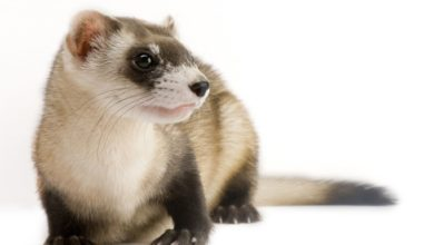 Photo of Why are black-footed ferrets endangered