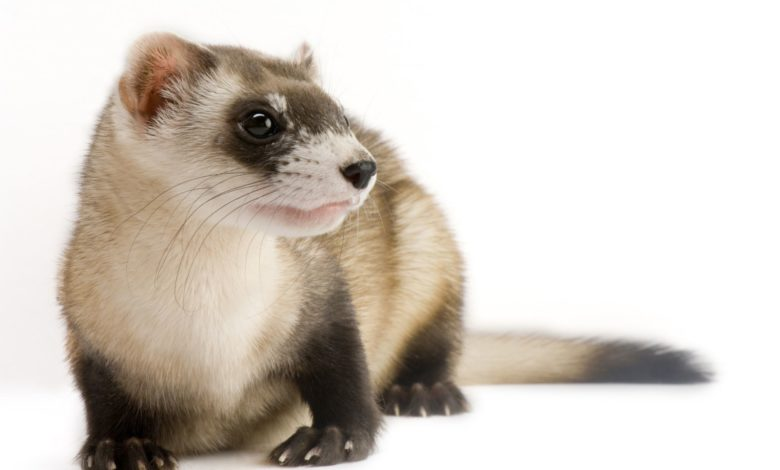 Why are black-footed ferrets endangered?