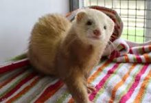 Photo of Can ferrets run free in a house