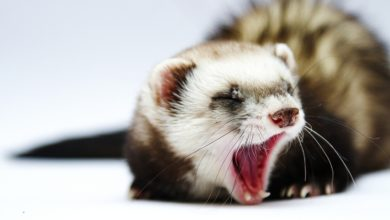 Photo of What does it mean when a ferret yawns
