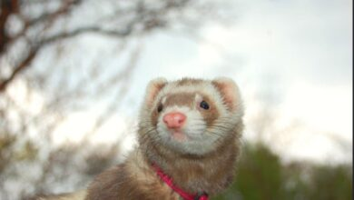 Photo of Is It True a Female Ferret Will Die if Not Mated?