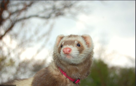 Is it true a female ferret will die if not mated?