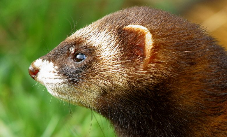 How Do I Know If My Ferret Has Ear Mites