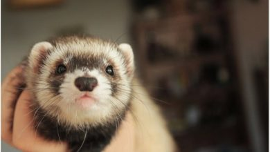 Photo of How to Prevent Ferret Hairballs